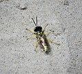 Sand Wasp. Microbembex monodonta. Sphecidae (37961416086).jpg