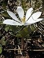 Sanguinaria canadensis 2-sphillips (5097944054).jpg