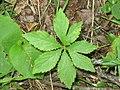 Sanicula marilandica 1-eheep (5097945492).jpg