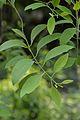 Santalum album - Indian Botanic Garden - Howrah 2013-03-31 5744.JPG