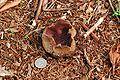 Sarcosphaera coronaria 12586.jpg