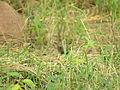 Saxicoloides fulicatus (15108105649).jpg