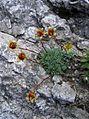 Saxifraga burseriana PID1293-2.jpg