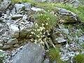 Saxifraga paniculata 2.jpg