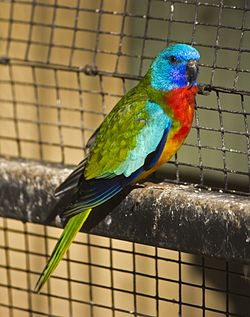 Scarlet-chested Parrot (Neophema splendida) at the Wagga Zoo.jpg