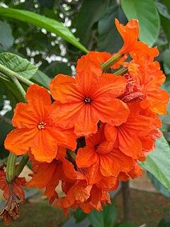 <i>Cordia sebestena</i> Species of tree