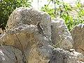 Sceloporus serrifer (4104124677).jpg