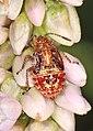 Scentless Plant Bug nymph - Arhyssus species, Occoquan Regional Park, Lorton, Virginia (43989307064).jpg