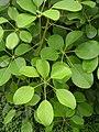 Schefflera wallichiana.jpg
