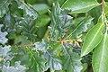 Schiermonnikoog - Zomereik (Quercus robur) v2.jpg