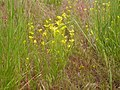 Schoenocrambe linifolia (4050284304).jpg