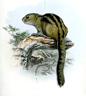 Lady Burtons rope squirrel Species of rodent native to central Africa