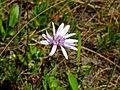 Scorzonera purpurea Haraszt Hill.jpg