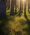 Scots Pine, on Barry Ridge - geograph.org.uk - 496023.jpg