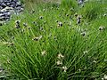 Sea Club-rush (Scirpus maritimus) at Portencross, Ayrshire.JPG