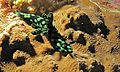 Sea Slug (Nembrotha cristata) (6058802609).jpg