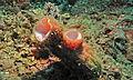 Sea Squirt (Polycarpa pigmentata) (8457106807).jpg