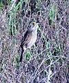 Seaside Sparrow (26454037674).jpg