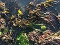 Seaweed & tidepool, North Moonstone SLO.jpg