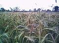 Secale cereale.jpg