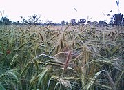 Rye is a secondary crop, originally being a mimetic weed of wheat.