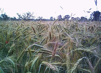 Vavilovian mimicry - Rye is a secondary crop, originally being a mimetic weed of wheat.