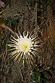 Selenicereus grandiflorus (2).jpg