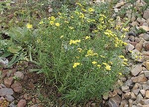 Narrow-leaved ragwort (Senecio inaequidens)