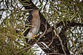 Sharp-shinned Hawk (30824613864).jpg