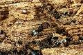 Shattuck C17875-1, ANIC32-030608, Pheidole, Cairns, Queensland (3822017590) (2).jpg