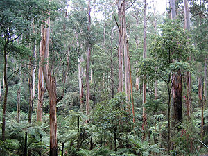 In Sherbrooke Forest, Victoria, Australia