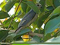 Shikra (Accipiter badius) (15709575327).jpg