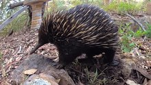 File:Short-beaked echidna in suburban-Sydney backyard.webm