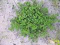 Silene gallica plant2 (16117785746).jpg