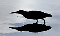 Silhouette of Striated heron (p1, 5s).jpg