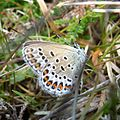 Silver-studded Blue. Male. Plebejus argus. u.s. showing blue outside edge to orange lunules - Flickr - gailhampshire.jpg