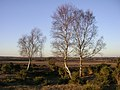Silver birch on Matley Ridge, New Forest - geograph.org.uk - 116400.jpg
