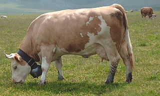 breed of cattle