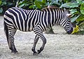 Singapore Zoo Zebra-02 (11944516304).jpg