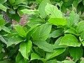 Sinojackia rehderiana - leaves - North Carolina Arboretum.JPG