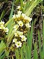 Sisyrinchium striatum - University of California Botanical Garden - DSC08905.JPG