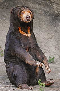 Sun bear bear found in tropical forest habitats of Southeast Asia