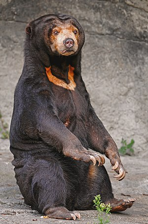 Sun bear - Image: Sitting sun bear