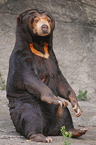 Sun bear - Image: Sitting sun bear