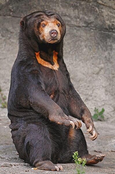 File:Sitting sun bear.jpg
