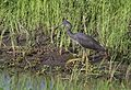 Slaty egret, Egretta vinaceigula, Chobe National Park, Botswana. (32278292746).jpg