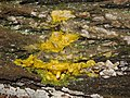 Slime mould eating bracket fungi 1.jpg