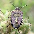 Sloe Bug (211963137).jpg