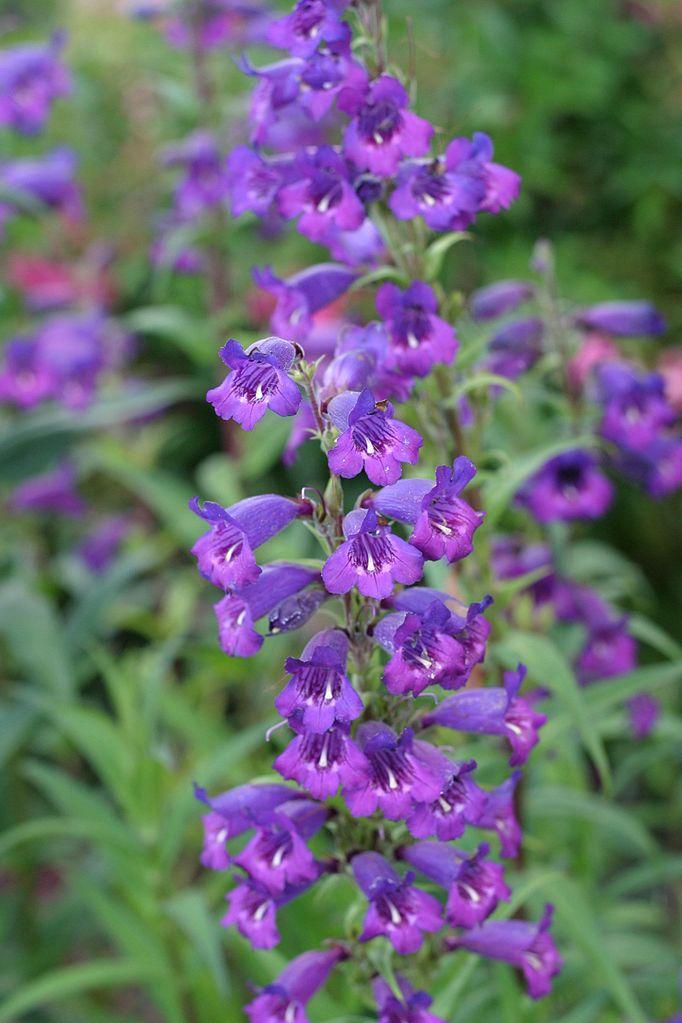 filesmall purple flowers  wikimedia commons, Beautiful flower