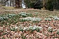 Snowdrops in the grounds of Killerton House - geograph.org.uk - 1744910.jpg